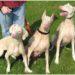 ホワイト・ドーベルマンとアルビノ犬研究